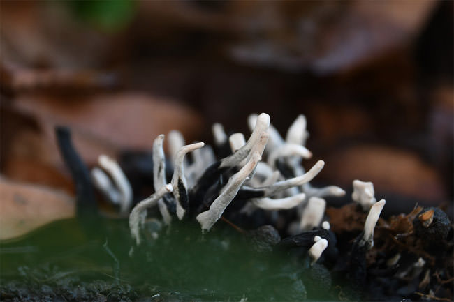 1/2 The Candlesnuff Fungus