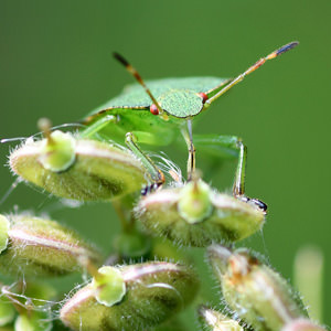 6/6 Common Green Shieldbug (not a pollinator but interesting for what it is)