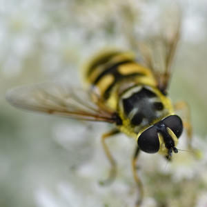 2/6 Hoverfly Syrphus Ribesii
