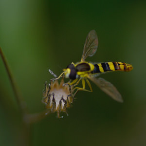 4/6 Long Hoverfly
