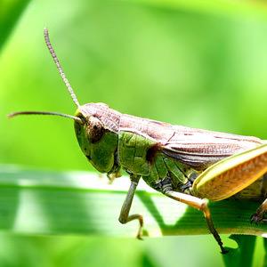 5/6 Meadow Grasshopper