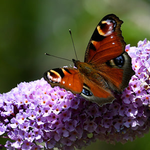 1/6 Peacock butterfly on buddleia