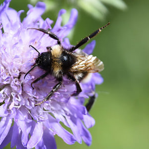 3/6 White-tailed Bumblebee fending off attack