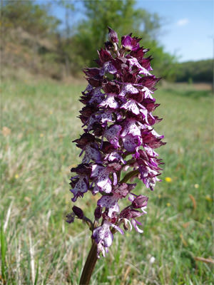 8/12 Possible military orchid