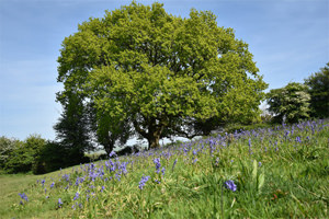 Oaks and bluebells on Newtimber Hill, Sussex