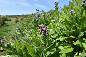 Red comfrey on Newtimber Hill, Sussex