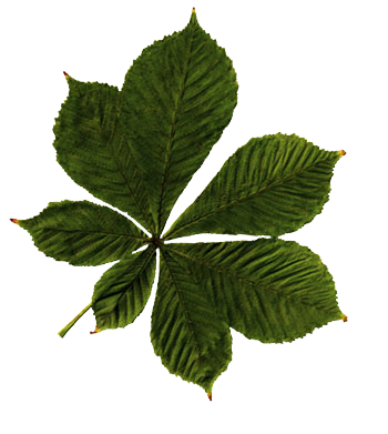 Chestnut leaf PNG image to demonstrate the shadow function