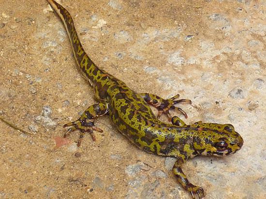 The European salamander.