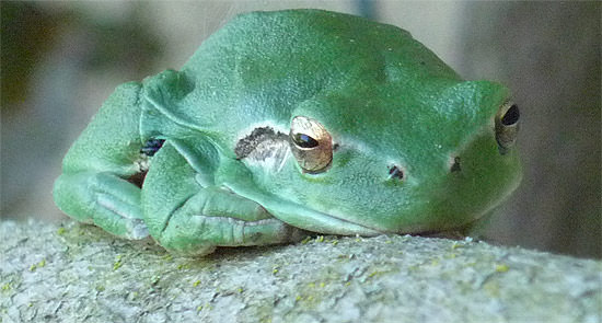 Here's looking at a European tree frog.
