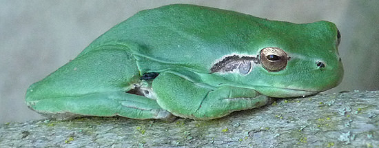 The European tree frog, a side view.