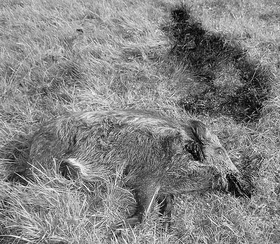 The hunter's trophy - a dead sanglier