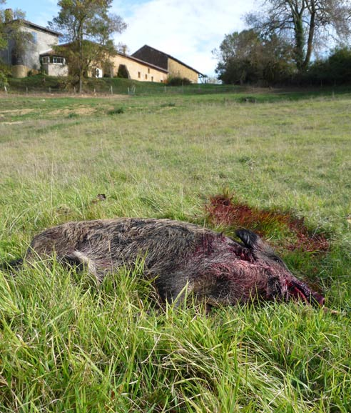 The hunter's trophy - a dead sanglier