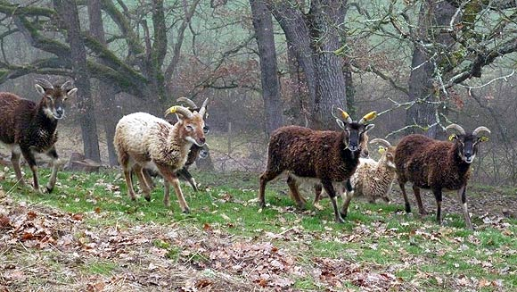 Soay sheep running for food.