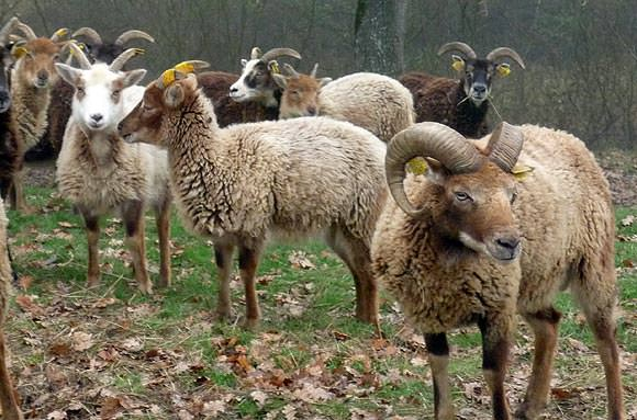 Soay sheep with their ram.