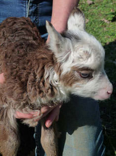 A white-headed Soay lamb