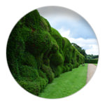 4/9 The Wibbley Wobbley hedge at Montacute House