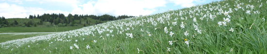 Narcissi in the Cantal