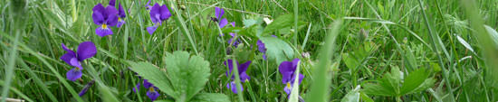 Violets in the Cantal