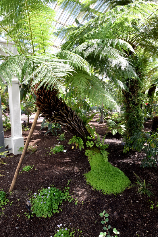 Tree ferns in Kew's Temperate House