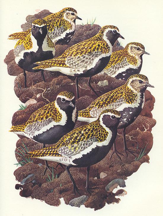 Northern golden plovers