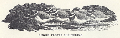 Ringed plovers sheltering