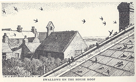 Swallows on the house roof