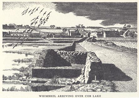 Whimbrels arriving over Cob Lake